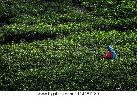 Woman in colorful dress harvesting on the tea plantation