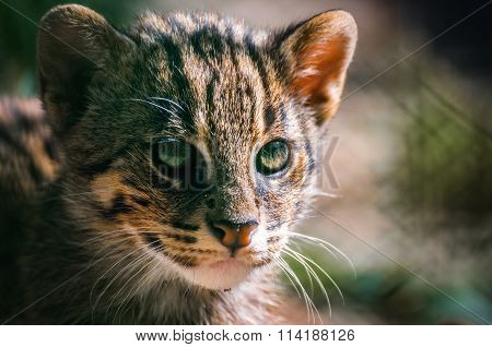 portrait Wild Cat ,Felis silvestris