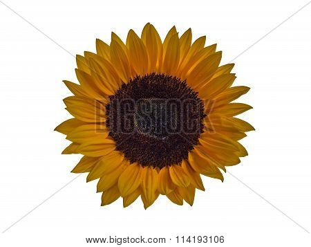 Sunflower blossom isolated