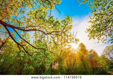 Sun Shining Through Canopy Of Tall Oak Trees. Upper Branches Of