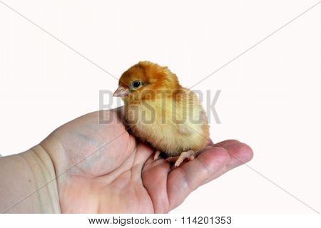 Small Chick sitting in a hand