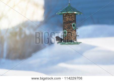 Dark Eyed Junco on a North America birdfeeder in winter.