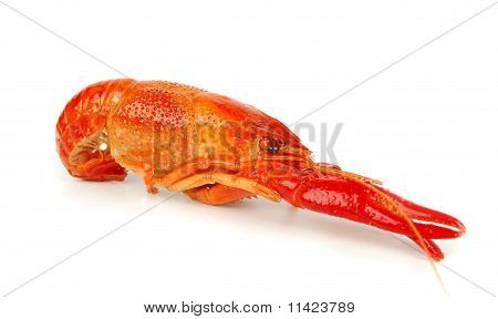One craw fish isolated n he white background. poster