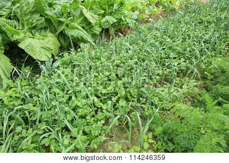 variety vegetable crops in growth at garden