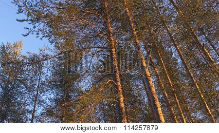Scots pine trees in the sun