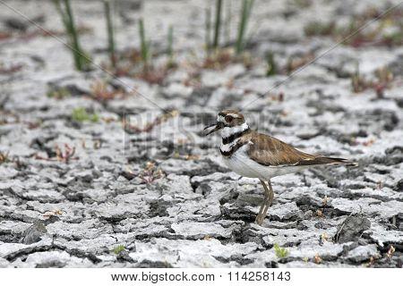 Killdeer female on drought cracked wetland soil