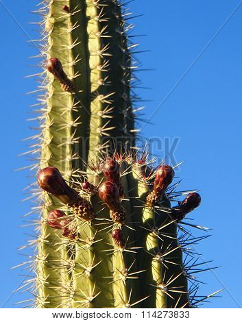 tall spiny green cactus with buds getting ready to burst into flower against a bright clear blue sky