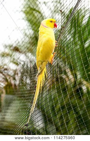 Yellow Parrot Red Beak