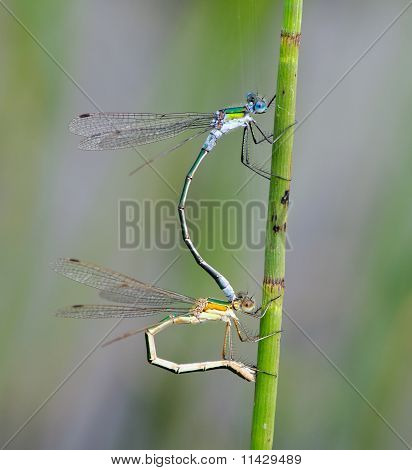 Common Emerald Damselflies Lestes sponsa mating