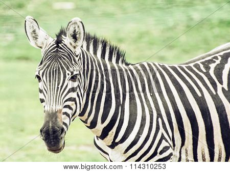Portrait Of Hartmann's Mountain Zebra (equus Zebra Hartmannae), Animal Scene