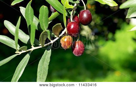 Olives Hanging In Branch.
