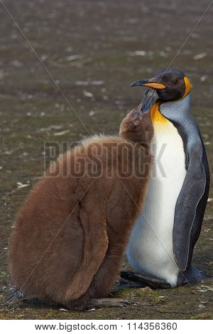King Penguin and Hungry Chick