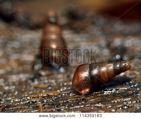 Tree snails (Balea perversa)