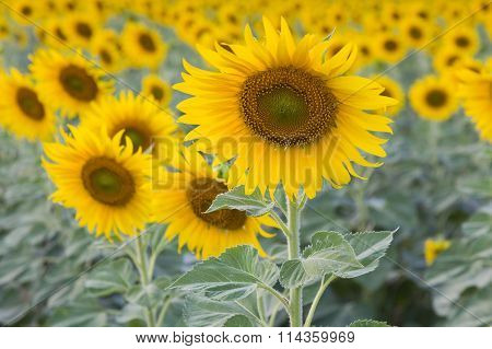 Beautiful full bloom sunflower field