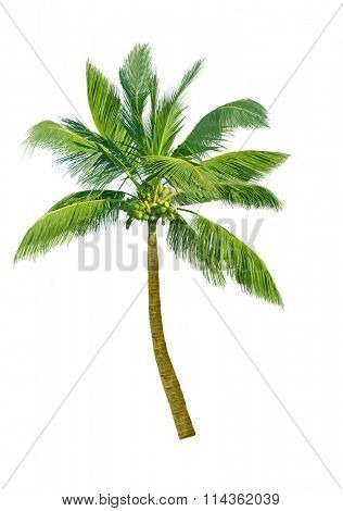 Design element coconut tree isolated on white