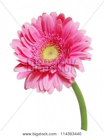 Single pink gerbera flower isolated on white