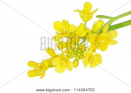 Macro of rapeseed flower isolated on white