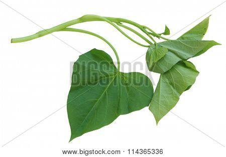 Single branch of sweet potato leaves Belacan Yam Leaf
