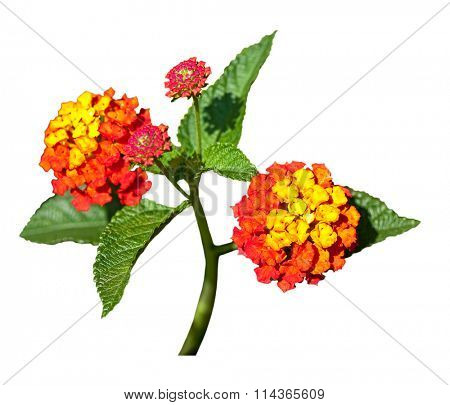 Red yellow lantana flowers isolated on white