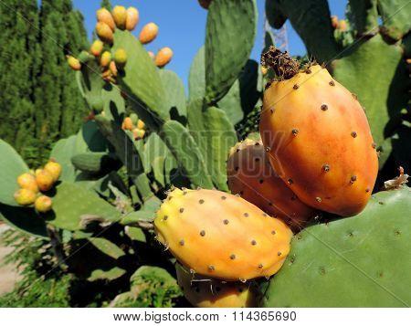 Prickly pear cactus Opuntia ficus-indica