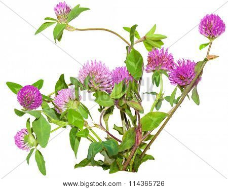 Bundle of pink clover flowers trifolium pratense isolated on white