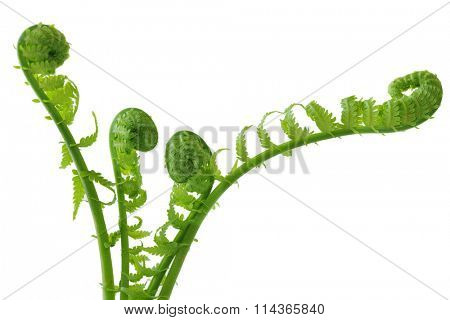 Group of curly ferns isolated on white background