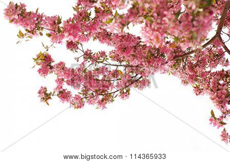 Cherry blossom in the spring over white background