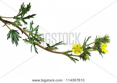 Yellow Silvery Cinquefoil, Potentilla argentea wild flower poster