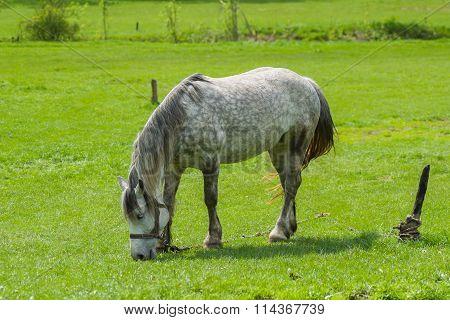 Dappled mare grazing fresh herbs