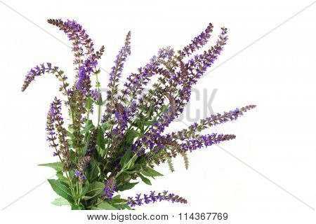 Purple Meadow Sage Flower plant isolated on white