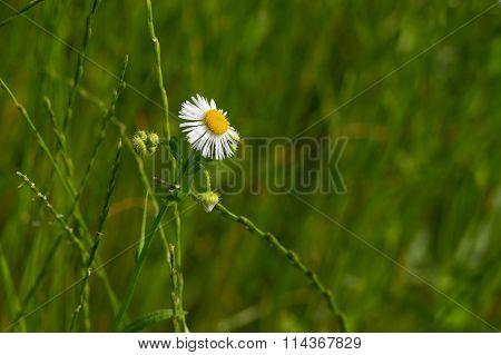 Wild Erigeron annuus flower in summer time