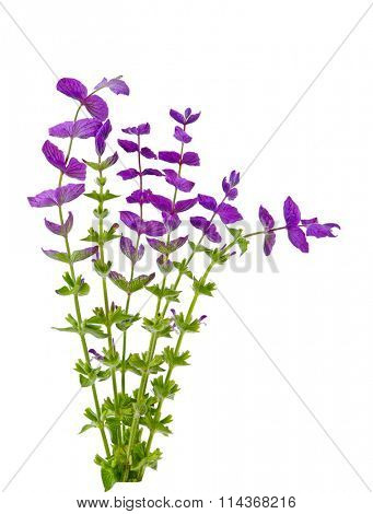 Salvia Viridis wild flower plants isolated on white