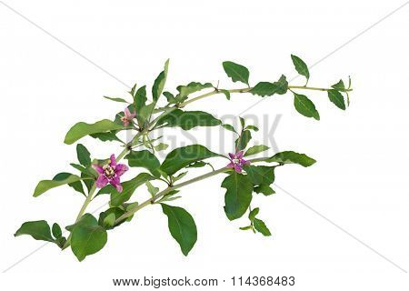 Branches of Chinese Lycium Boxthorn isolated on white with purple flowers