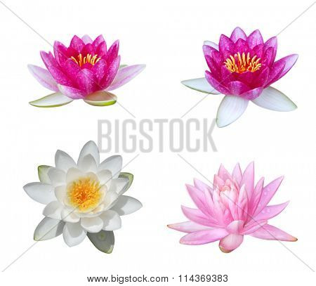 Collection of water lily isolated on white