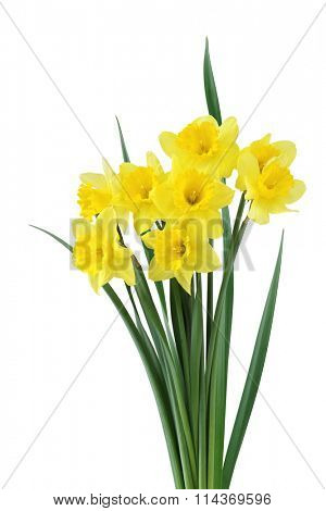 Bundle of daffodil flowers isolated on white
