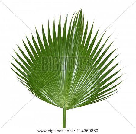 Single palm leaf isolated on white