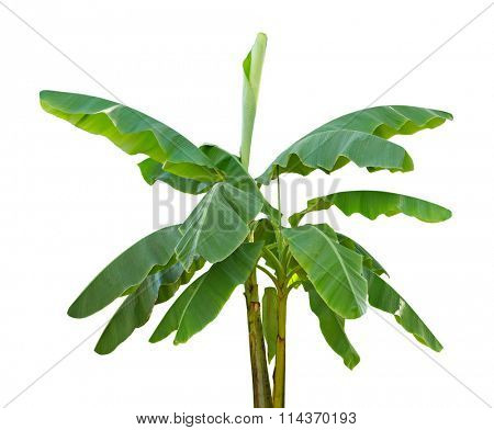 Banana trees isolated on white background poster