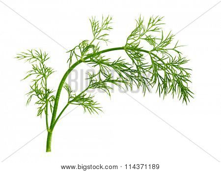 Fresh fennel leaf isolated on white background