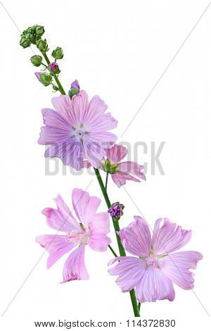 Musk Mallow Malva moschata flower branch  isolated on white