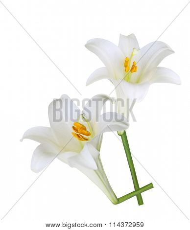 Fresh Easter Lily flowers isolated on white background