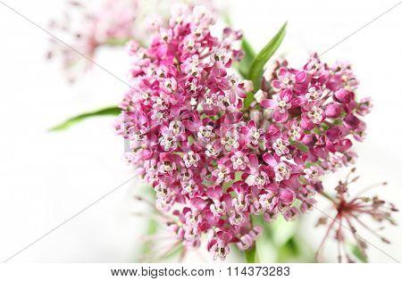 Swamp Milkweed Wild Flower in the Heart shape