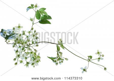 Virgin's Bower Clematis virginiana wild flower isolated on whte background