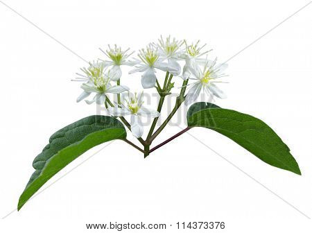 Male Virgin's Bower Wildflower isolated on white background