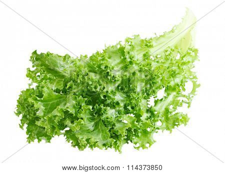 Curly Endive chicory salad isolated on white background