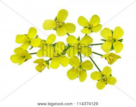 Rapeseed blossom isolated on white background