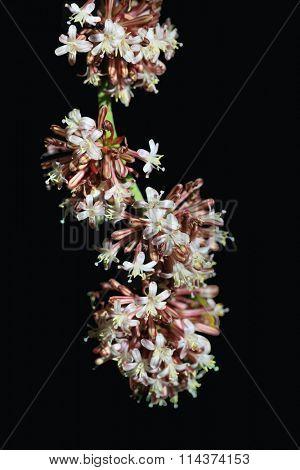 Dracaena fragrans cornstalk flower isolated on black background