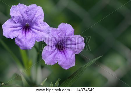Ruellia tuberosa Brittoniana (Mexican Petunia) flower blooming