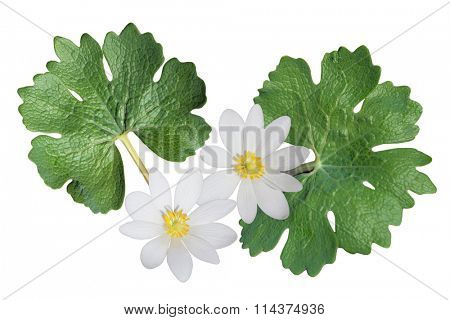 Sanguinaria canadensis (Bloodroot) wild flower isolated on white background