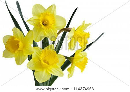 Narcissus daffodil (jonquil) spring perennial plants