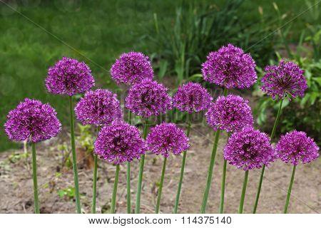 Purple giant  Allium Flowers plant in the garden